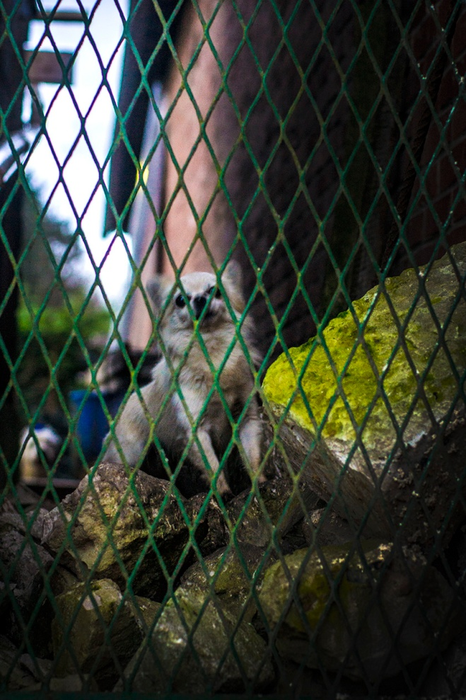 heroic chihuahua behind a fence