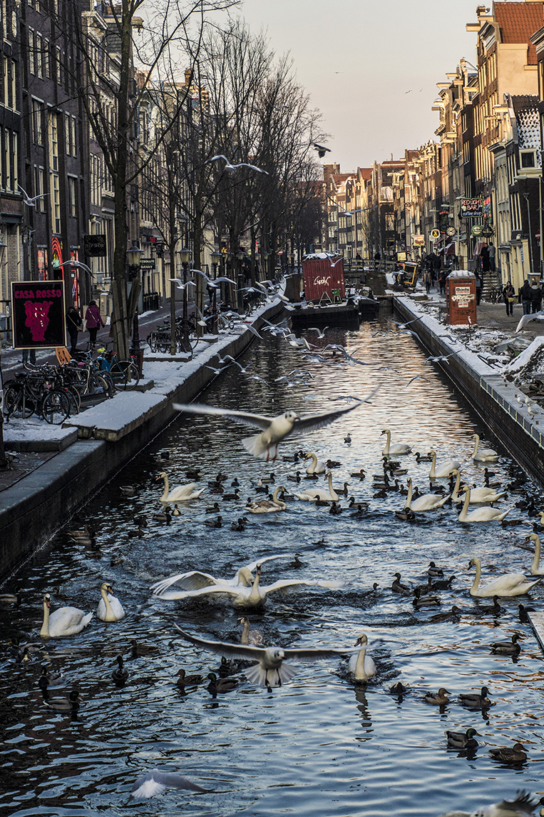 Bird fights over canal in Red Light District - Amsterdam