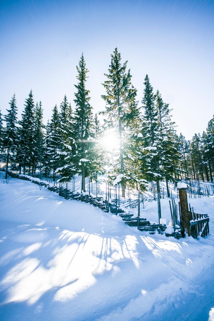 Sunlight seeping through elk trees