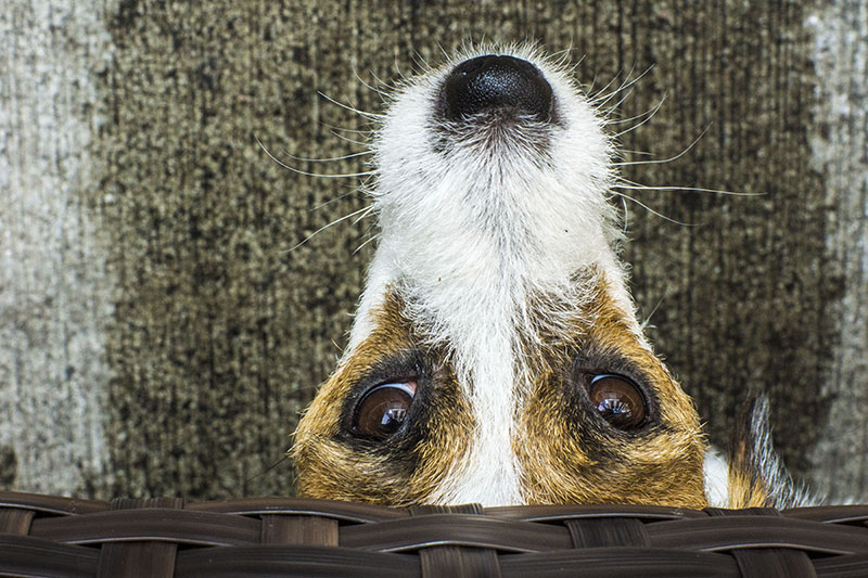 a jack russell with longing eyes is peaking out from under the table