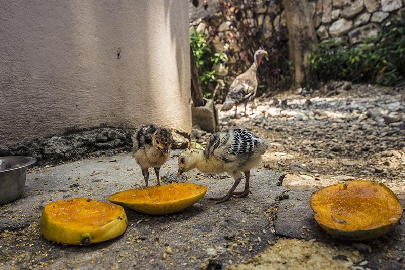 Turkey Chicks Love Mango
