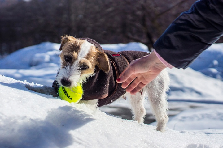 Jack Russell Milli out in the snow