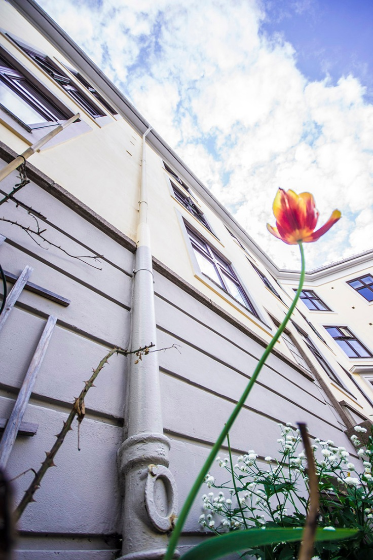 proud tulip