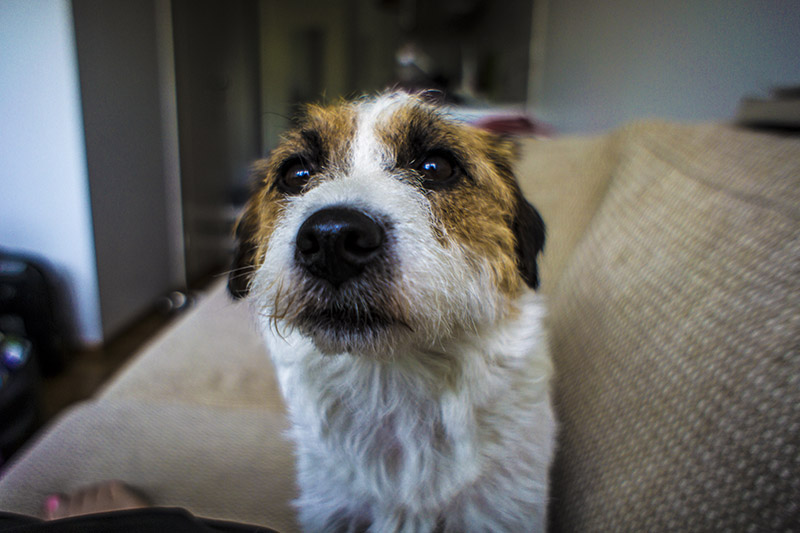 Milli the Jack Russell terrier