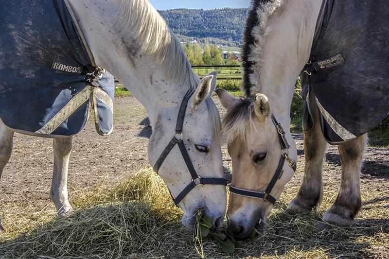 horses - norway