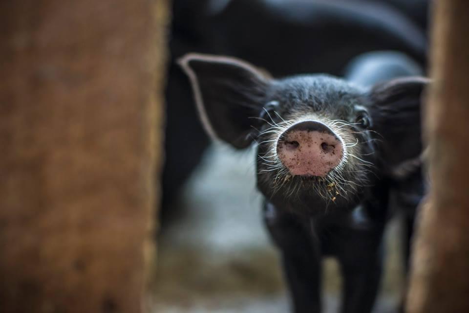 baby piglet