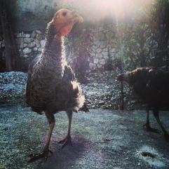 my Haitian pets - turkeys!!