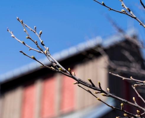 Spring, leafs, buds